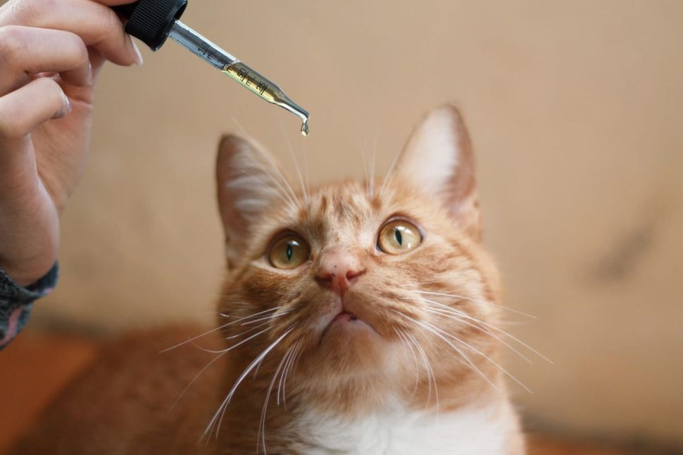 WHY YOU SHOULD USE CBD TO CURE YOUR CAT