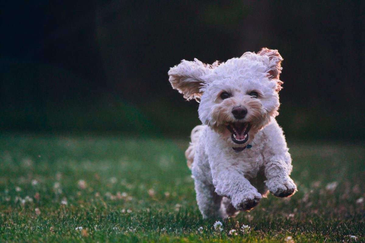 CBD For Dogs—What Do We Know About It