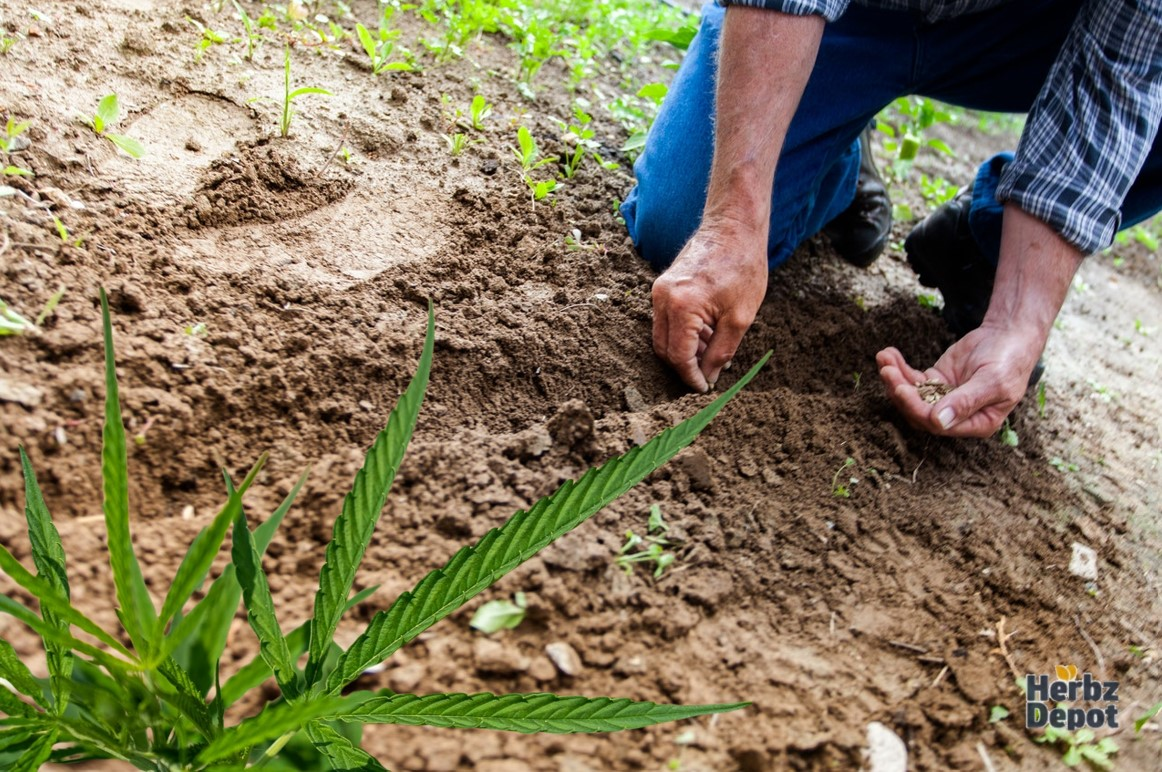 Hemp Plant Anatomy: From the Roots to the Top